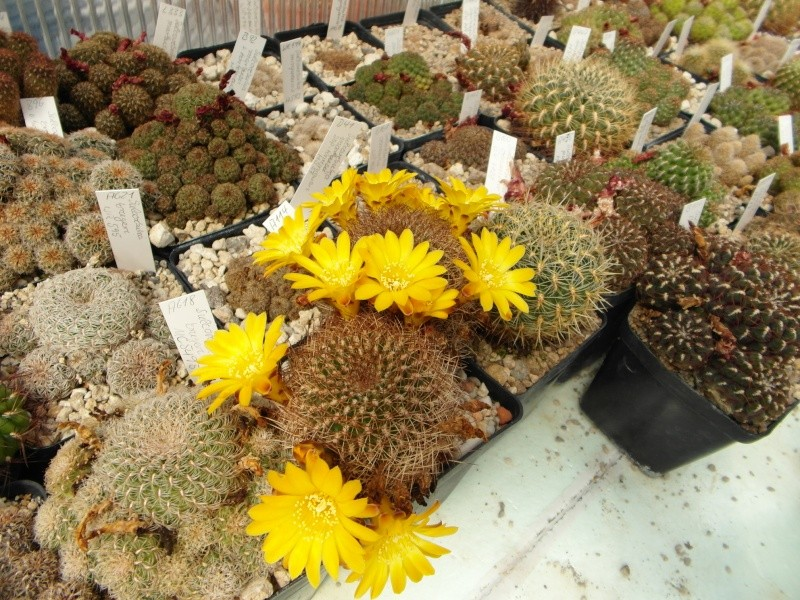 Cacti and Sukkulent in Köln, every day new flowers in the greenhouse Part 67 Bild_218