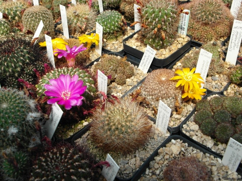 Cacti and Sukkulent in Köln, every day new flowers in the greenhouse Part 67 Bild_227