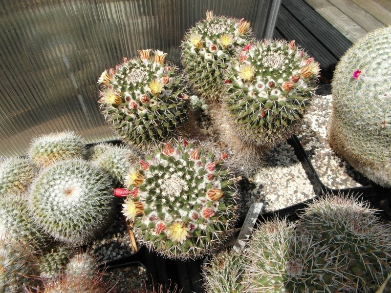Cacti and Sukkulent in Köln, every day new flowers in the greenhouse Part 67 Bild_248