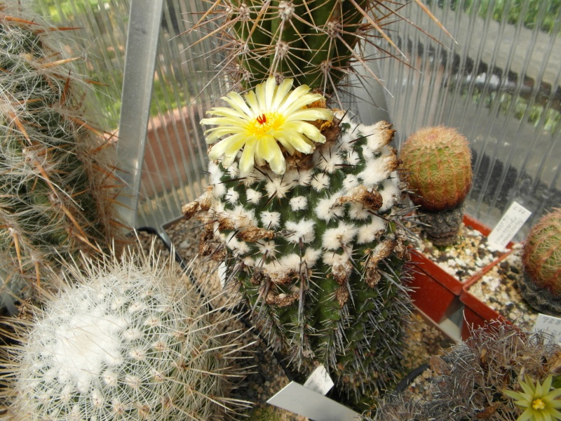 Cacti and Sukkulent in Köln, every day new flowers in the greenhouse Part 67 Bild_251