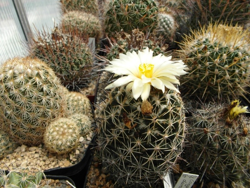 Cacti and Sukkulent in Köln, every day new flowers in the greenhouse Part 67 Bild_253