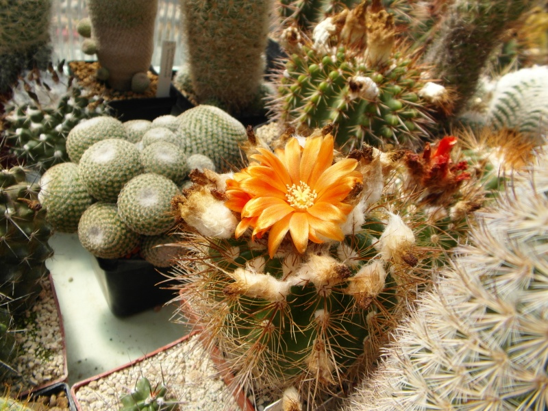 Cacti and Sukkulent in Köln, every day new flowers in the greenhouse Part 67 Bild_256