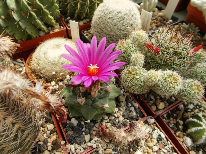 Cacti and Sukkulent in Köln, every day new flowers in the greenhouse Part 67 Bild_261