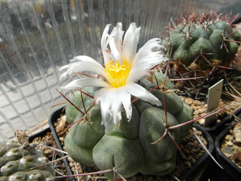 Cacti and Sukkulent in Köln, every day new flowers in the greenhouse Part 67 Bild_264