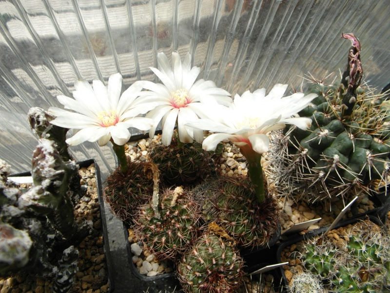 Cacti and Sukkulent in Köln, every day new flowers in the greenhouse Part 67 Bild_266