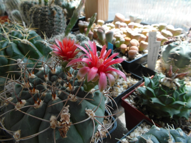 Cacti and Sukkulent in Köln, every day new flowers in the greenhouse Part 67 Bild_268