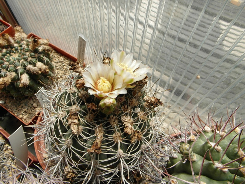 Cacti and Sukkulent in Köln, every day new flowers in the greenhouse Part 67 Bild_271