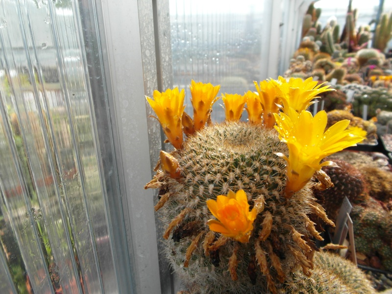 Cacti and Sukkulent in Köln, every day new flowers in the greenhouse Part 67 Bild_277