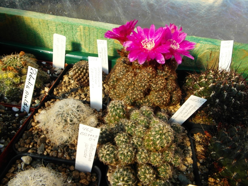 Cacti and Sukkulent in Köln, every day new flowers in the greenhouse Part 67 Bild_278