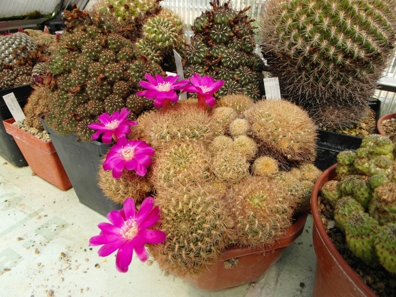 Cacti and Sukkulent in Köln, every day new flowers in the greenhouse Part 67 Bild_279