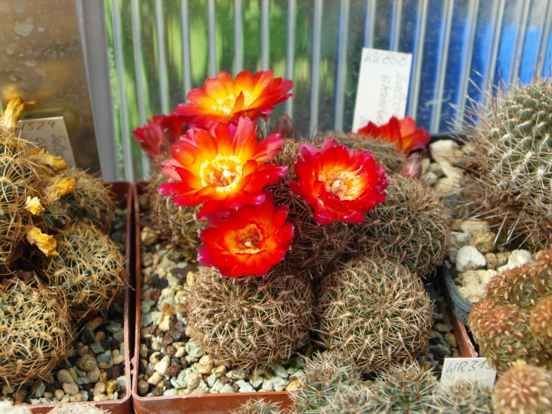 Cacti and Sukkulent in Köln, every day new flowers in the greenhouse Part 67 Bild_282