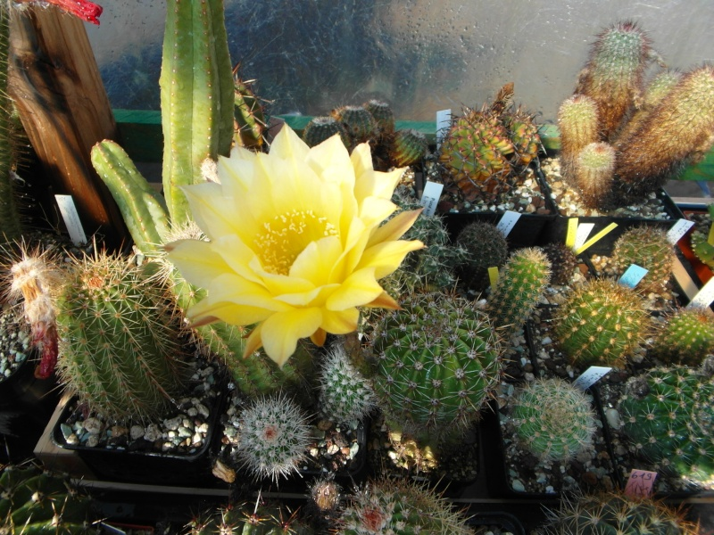 Cacti and Sukkulent in Köln, every day new flowers in the greenhouse Part 67 Bild_284
