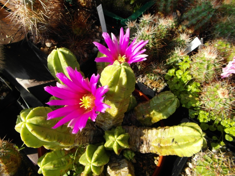 Cacti and Sukkulent in Köln, every day new flowers in the greenhouse Part 67 Bild_286