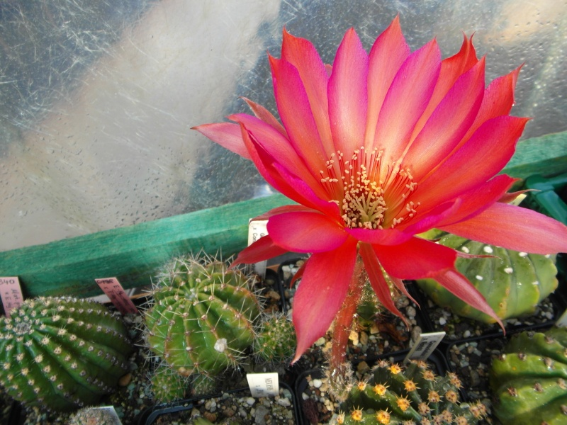 Cacti and Sukkulent in Köln, every day new flowers in the greenhouse Part 67 Bild_290