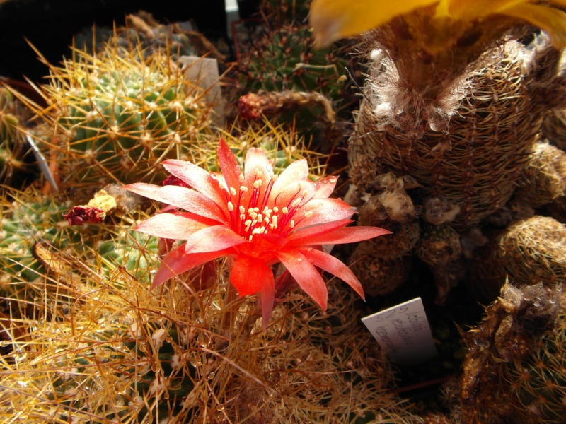 Cacti and Sukkulent in Köln, every day new flowers in the greenhouse Part 67 Bild_292