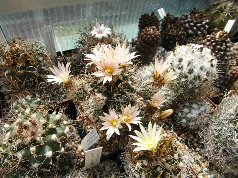 Cacti and Sukkulent in Köln, every day new flowers in the greenhouse Part 67 Bild_297