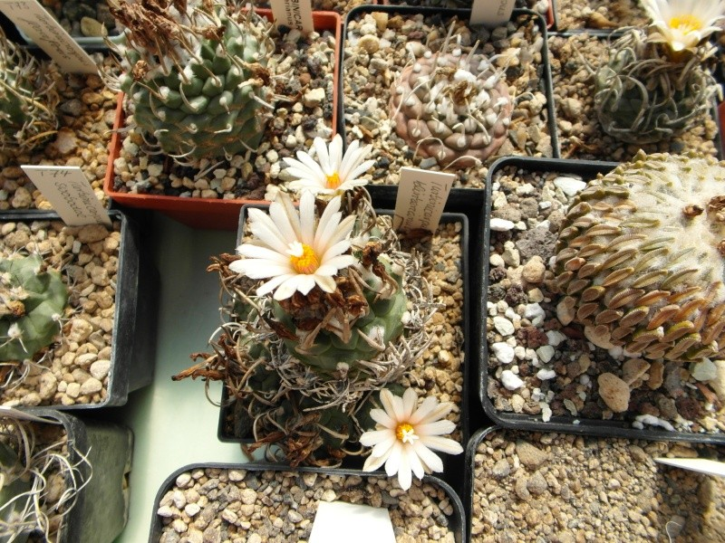 Cacti and Sukkulent in Köln, every day new flowers in the greenhouse Part 67 Bild_298