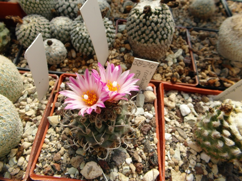 Cacti and Sukkulent in Köln, every day new flowers in the greenhouse Part 67 Bild_299