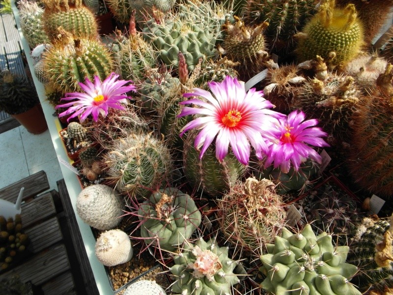 Cacti and Sukkulent in Köln, every day new flowers in the greenhouse Part 67 Bild_306