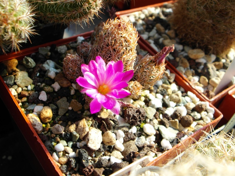 Cacti and Sukkulent in Köln, every day new flowers in the greenhouse Part 67 Bild_313