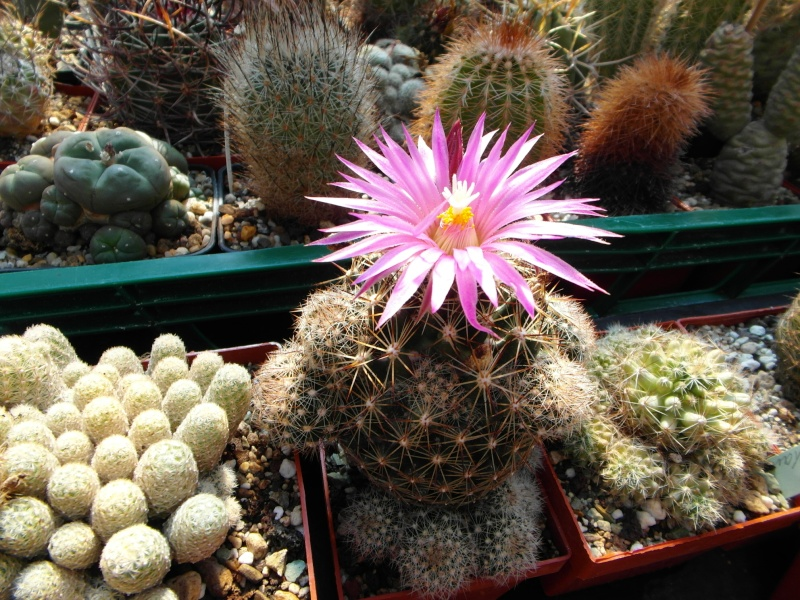 Cacti and Sukkulent in Köln, every day new flowers in the greenhouse Part 68 Bild_326
