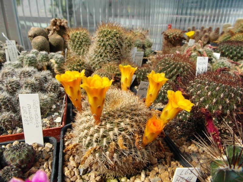 Cacti and Sukkulent in Köln, every day new flowers in the greenhouse Part 68 Bild_332