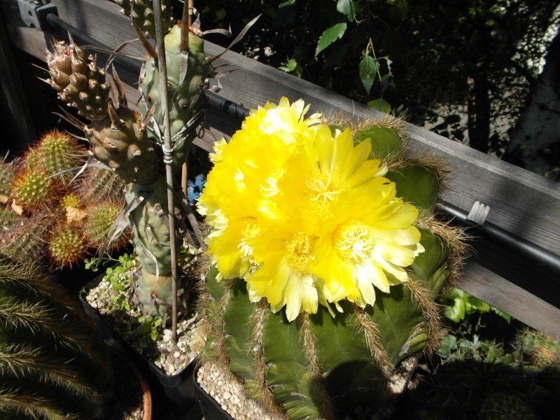 Cacti and Sukkulent in Köln, every day new flowers in the greenhouse Part 68 Bild_349
