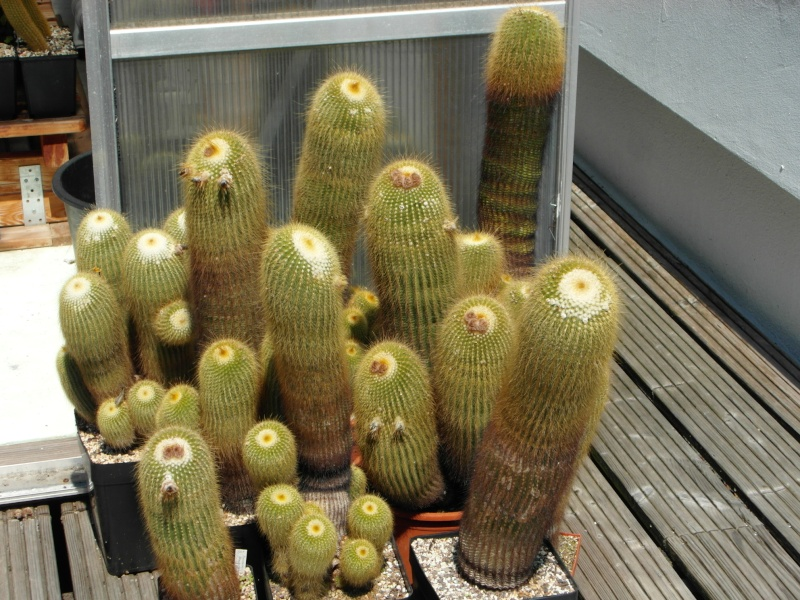 Cacti and Sukkulent in Köln, every day new flowers in the greenhouse Part 68 Bild_350