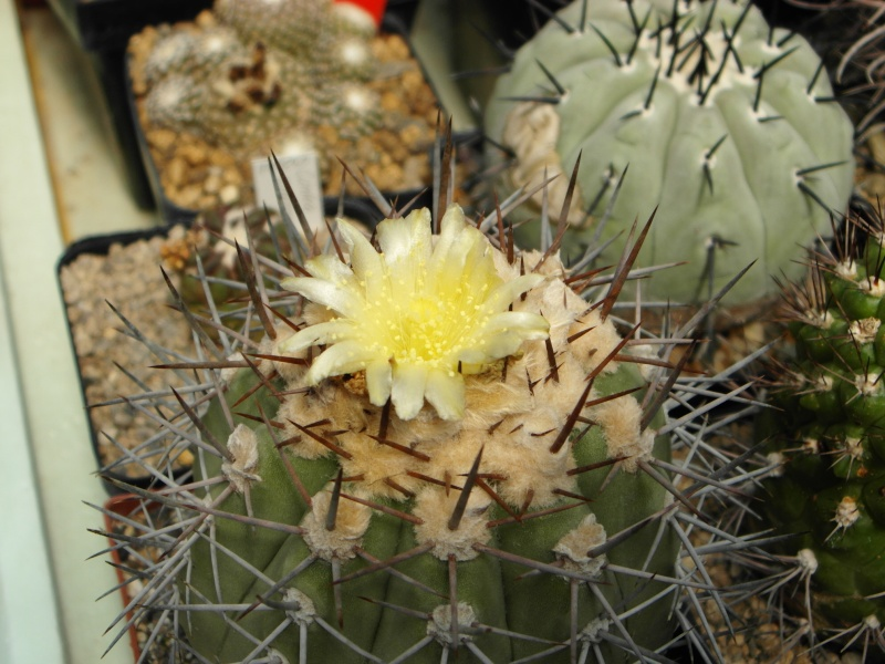 Cacti and Sukkulent in Köln, every day new flowers in the greenhouse Part 68 Bild_354