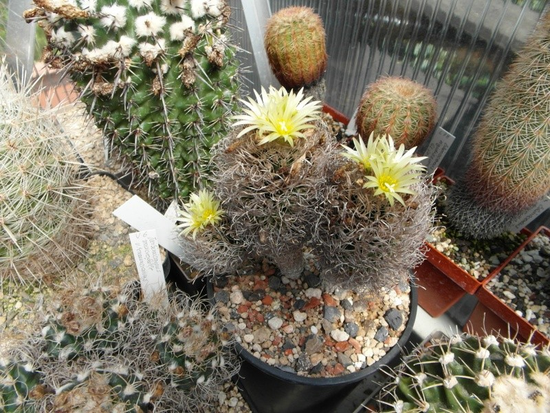 Cacti and Sukkulent in Köln, every day new flowers in the greenhouse Part 68 Bild_355