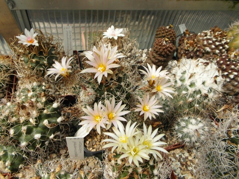 Cacti and Sukkulent in Köln, every day new flowers in the greenhouse Part 68 Bild_357