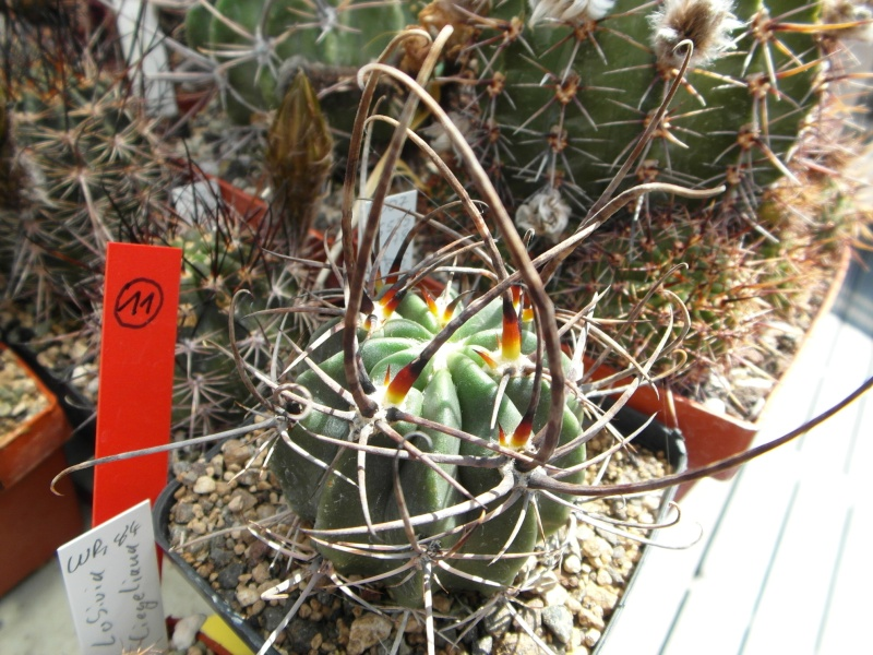 Cacti and Sukkulent in Köln, every day new flowers in the greenhouse Part 68 Bild_371