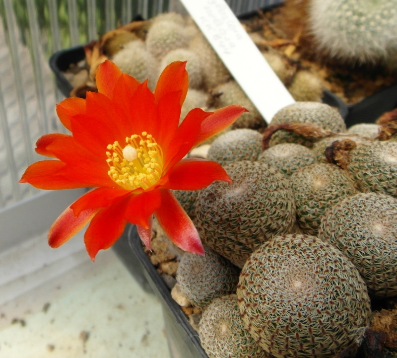 Cacti and Sukkulent in Köln, every day new flowers in the greenhouse Part 68 Bild_372