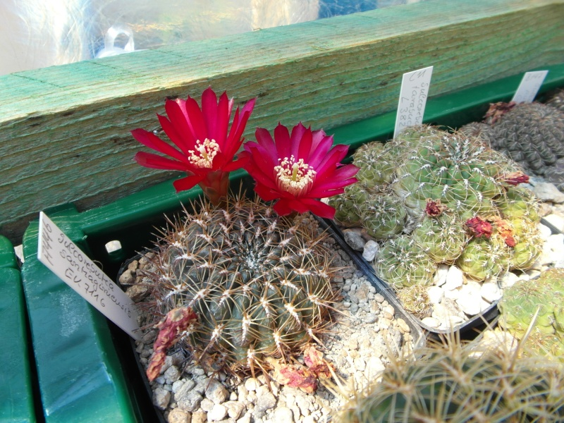 Cacti and Sukkulent in Köln, every day new flowers in the greenhouse Part 68 Bild_373