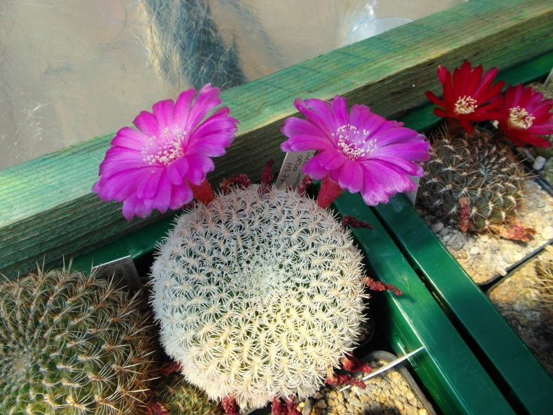 Cacti and Sukkulent in Köln, every day new flowers in the greenhouse Part 68 Bild_374