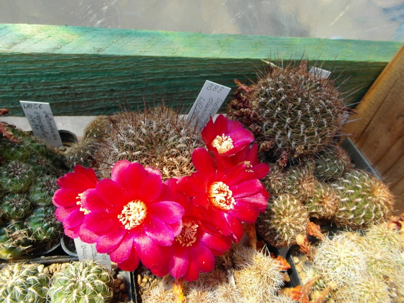Cacti and Sukkulent in Köln, every day new flowers in the greenhouse Part 68 Bild_375