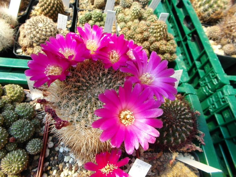 Cacti and Sukkulent in Köln, every day new flowers in the greenhouse Part 68 Bild_380