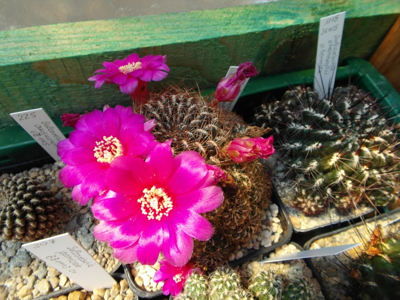 Cacti and Sukkulent in Köln, every day new flowers in the greenhouse Part 68 Bild_381