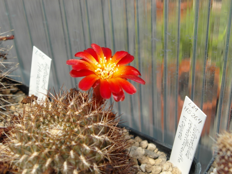 Cacti and Sukkulent in Köln, every day new flowers in the greenhouse Part 68 Bild_382