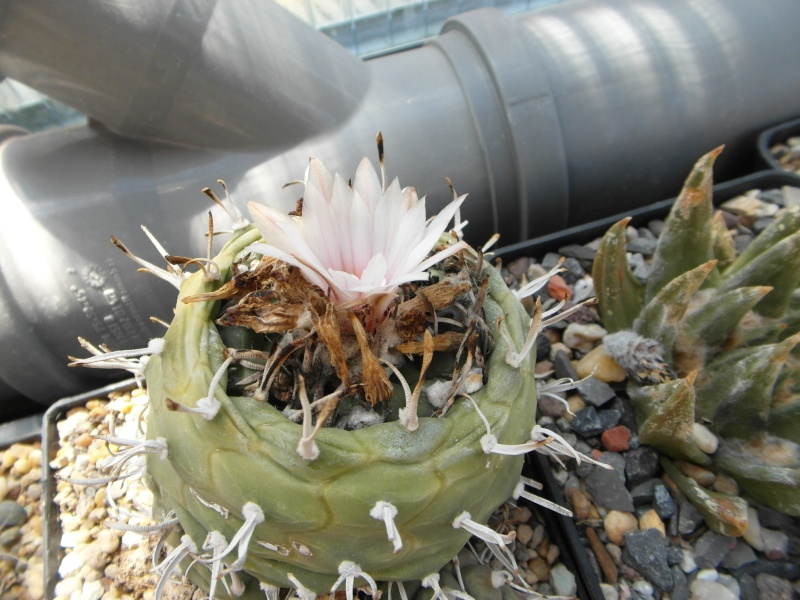 Cacti and Sukkulent in Köln, every day new flowers in the greenhouse Part 68 Bild_400