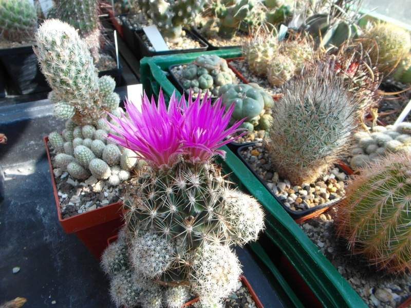 Cacti and Sukkulent in Köln, every day new flowers in the greenhouse Part 68 Bild_403
