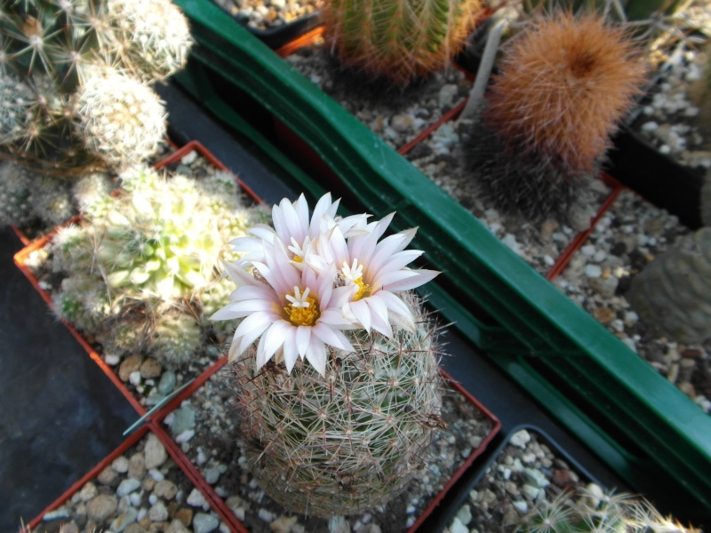 Cacti and Sukkulent in Köln, every day new flowers in the greenhouse Part 68 Bild_404