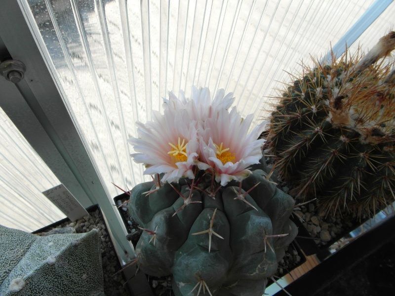 Cacti and Sukkulent in Köln, every day new flowers in the greenhouse Part 68 Bild_406
