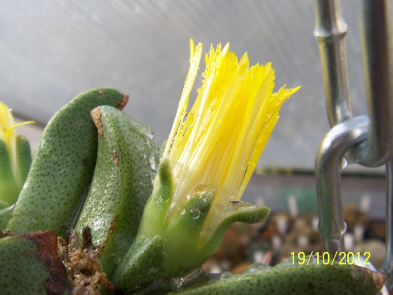Cacti and Sukkulent in Köln, every day new flowers in the greenhouse Part 66 Bild_415