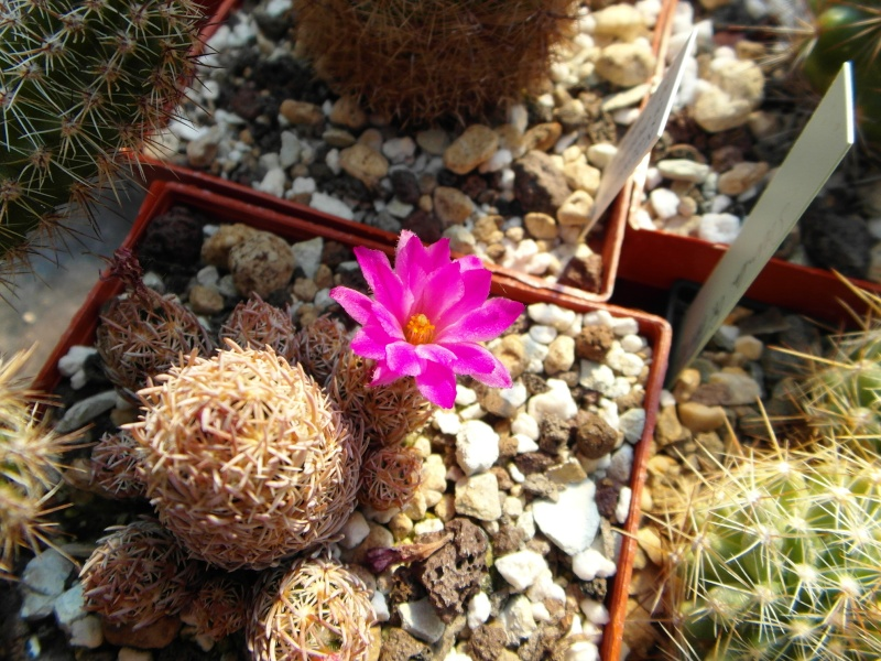 Cacti and Sukkulent in Köln, every day new flowers in the greenhouse Part 69 Bild_430