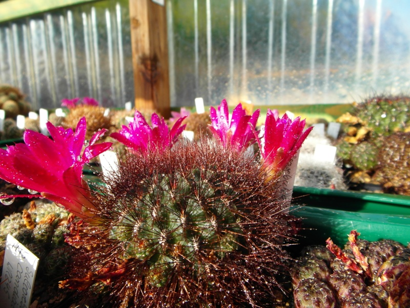 Cacti and Sukkulent in Köln, every day new flowers in the greenhouse Part 69 Bild_433