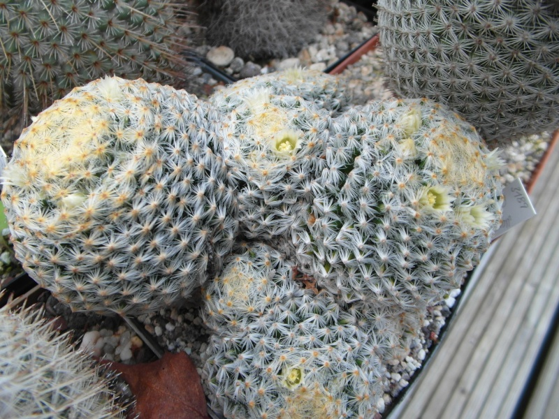 Cacti and Sukkulent in Köln, every day new flowers in the greenhouse Part 69 Bild_441