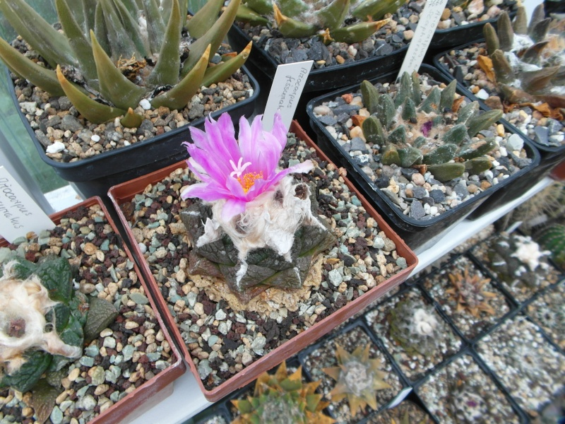 Cacti and Sukkulent in Köln, every day new flowers in the greenhouse Part 69 Bild_453