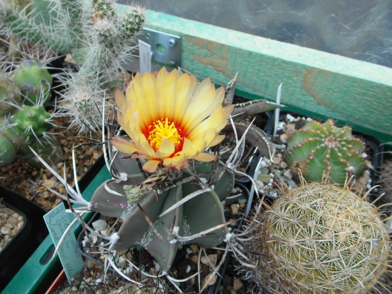 Cacti and Sukkulent in Köln, every day new flowers in the greenhouse Part 69 Bild_469