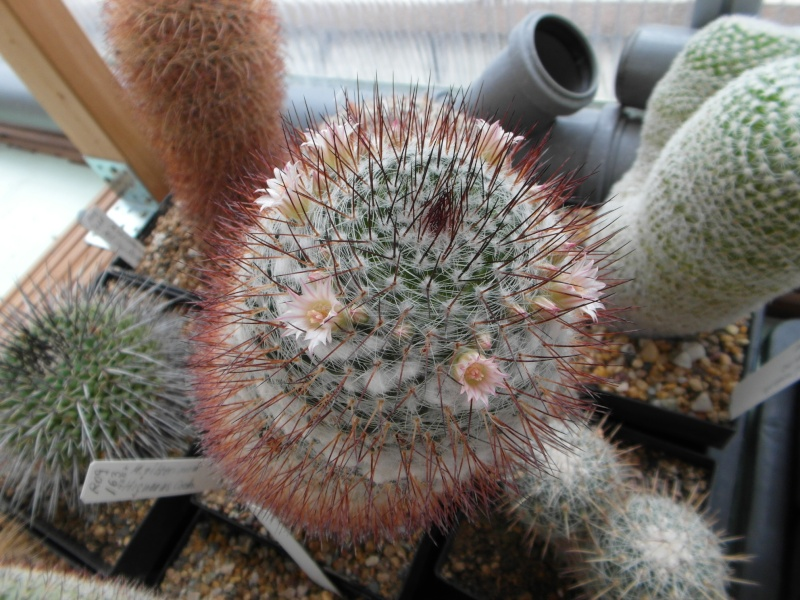 Cacti and Sukkulent in Köln, every day new flowers in the greenhouse Part 69 Bild_475